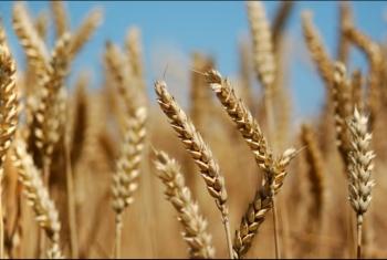 9 مسئولين يستولون على 36 مليون جنيه في قضية فساد القمح