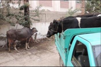 ديرب نجم| الشرطة ترفض الاستجابة لشكاوى الأهالي في قرية المجفف بعد انتشار سرقة المواشي