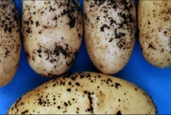 بسبب غياب الرقابة.. انتشار العفن البني في البطاطس