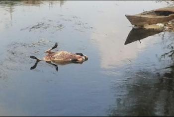غضب بين أهالي كفر صقر بسبب إلقاء الحيوانات النافقة في بحر مويس