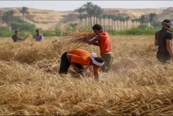 أزمة كل عام.. غضب بين مزارعي القمح بسبب أسعار التوريد